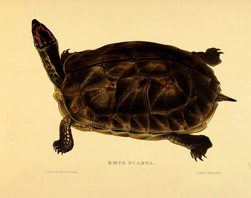 009-Emys Scabra-Tortoises terrapins and turtles..1872-James Sowerby