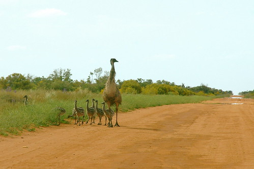 Emu and nine chicks!