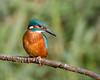 Posing Kingfisher (Andrew Haynes Wildlife Images) Tags: bird nature kingfisher coventry warwickshire brandonmarsh canon7d ajh2008 wiladlife