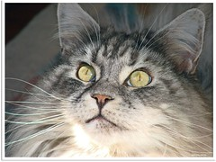Aliens? Es gibt sie also doch! - Aliens? - They really do exist! (Jorbasa) Tags: pet animal cat germany deutschland spring hessen mainecoon maxwell katze kater tier tomcat frhling wetterau cc100 jorbasa blacksilverclassictabby