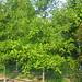 Nuttall Oak #25