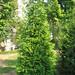 Green Giant Arborvitae #25