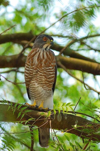 鳳頭蒼鷹-成鳥 Crested Goshawk