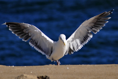 great black-backed gull aggression