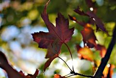 280.365 (erin.alyssa.) Tags: hello fall leaves 35mm lens nikon days 365 18 d3000 erinalyssa