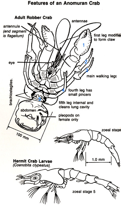 anatomy_coconutcrab