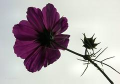 Cosmos welcoming a wonderful day (joeke pieters) Tags: flower garden droplets drops cobweb tuin cosmos bloem cosmea spinrag anawesomeshot
