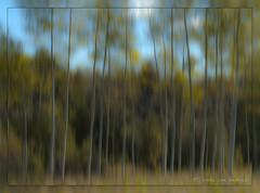 Aspens (KvonK) Tags: blue trees blur green yellow 50mm creative motionblur nikkor50mmf18 aspen f11 nikond300s