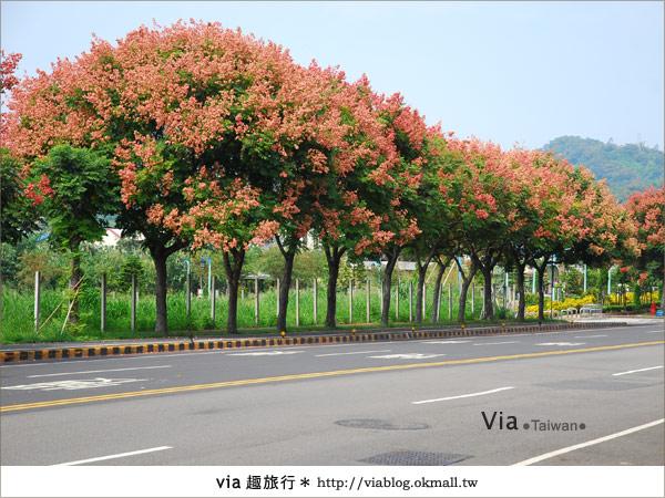 【台中】台灣秋天最美的街道!台中大坑發現美麗的台灣欒樹2