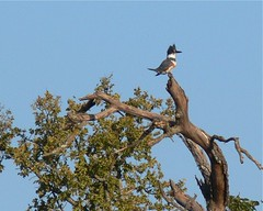 Female Belted Kingfisher - 1