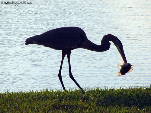 IMG_4116-Great-Blue-Heron