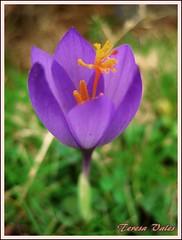 Crocus (Smogito) Tags: flower macro canon de asturias crocus lagos covadonga iridaceae a3b