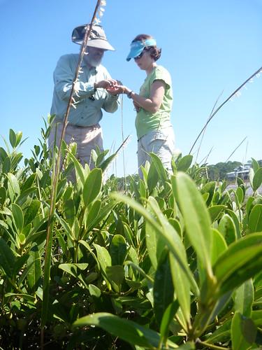 Ed Proffitt and Randall Hughes by a black mangrove