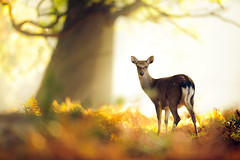 like a dream (andrew evans.) Tags: lighting wood morning autumn trees light england sun mist tree nature misty fog fairytale forest sunrise countryside kent woods nikon bokeh wildlife deer ethereal rays sunrays wonderland storybook magical f28 enchanted d3 400mm highqualityanimals