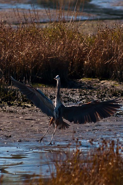 Blue Heron flairing on approach