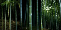 Bamboo Garden (Mark Liddell) Tags: world pink flowers sky flower color colour heritage leaves japan gardens ji river garden season cherry temple japanese leaf site spring ancient kyoto heaven dragon blossom buddha buddhist blossoms bamboo historic unesco full momiji changing  bloom change  sakura nippon kyouto kouyou  monuments oi nihon tenryuji koyo muso  soseki honshu ooi tenryu  kyto tenryuuji   honsh tenryuu tenryji honshuu