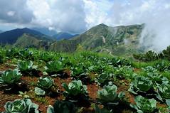 Cabbage (USAID_IMAGES) Tags: usaid haiti earthquake winner agriculture development kenscoff usagencyforinternationaldevelopment kendrahelmer haitiusaidkenscoffwinneragriculturefarming wynnefarm