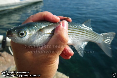 Boxlip Mullet - Oedalechilus labeo