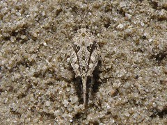Paratettix sp (David Bygott) Tags: arizona usa grasshopper ruby orthoptera eol insecta caelifera taxonomy:genus=paratettix davidbygott