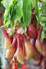 Tropical Pitcher Plants (Foto Martien) Tags: holland macro netherlands dutch sumatra singapore southeastasia nederland australia insects borneo noordoostpolder flevoland nepenthes carnivore insecten pitcherplant macrophoto carnivorousplant plan
