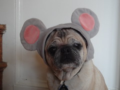 trying to maintain her dignity (wombatarama) Tags: halloween mouse pug