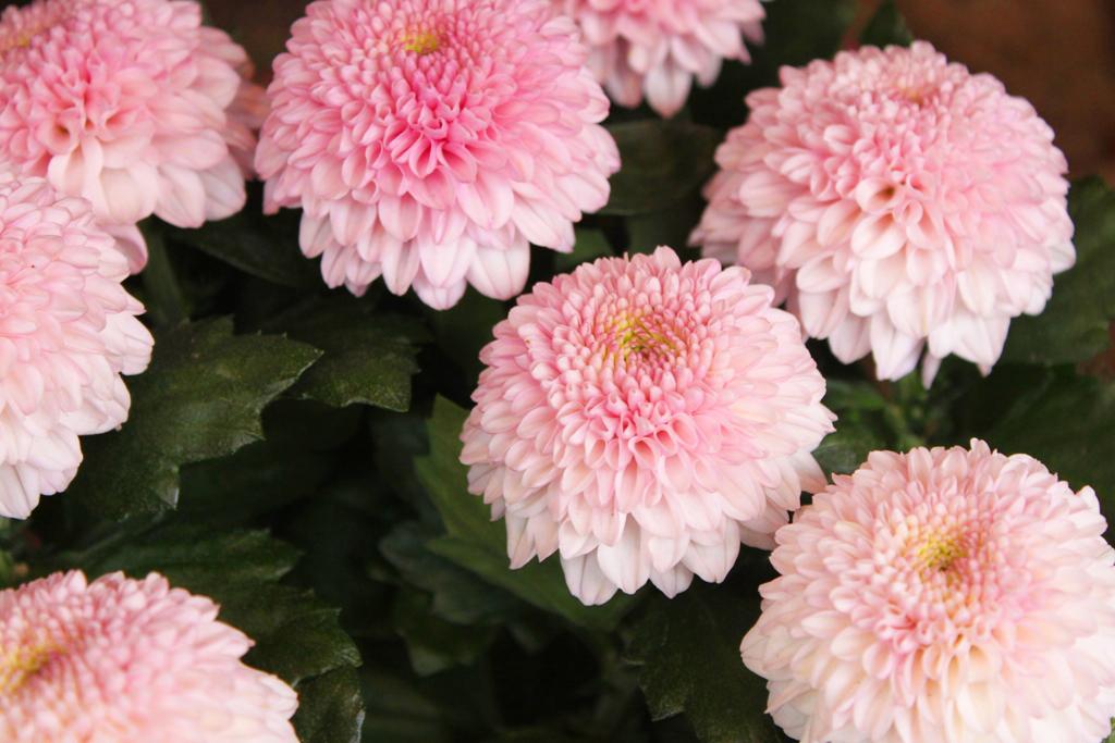 Yanaka Chrysanthemum Festival (4)
