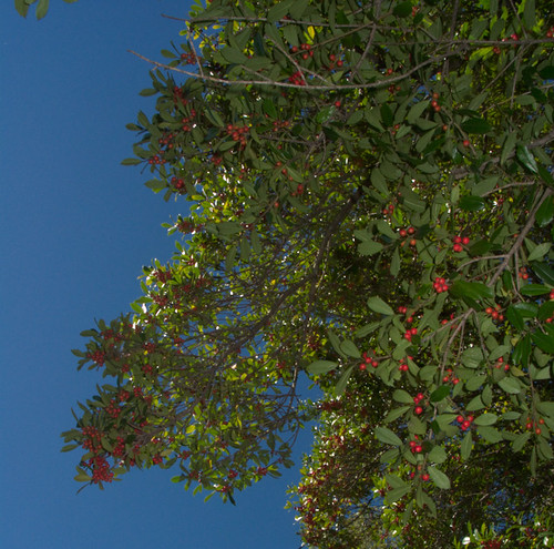Holly branches against the blue sky