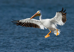 American White Pelican (Manjith Kainickara *manjithkaini.net*) Tags: pelicans dallas migration birdwatching whitebirds birdsoftexas drisyam2010exhibit