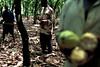 Cocoa plantation (Krzysztof Miekus) Tags: africa ghana plantation cocoa kumasi