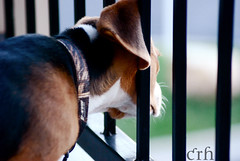 Trapped! (catherine_rene (I've been locked out of my account) Tags: portrait dog cute beagle animal puppy funny stuck head canine nikkor70300 nikond60