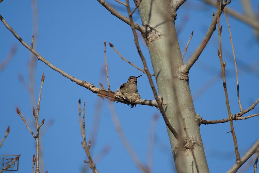 Anna's Hummingbird nest g2 0328101