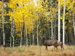 2006 Fall (PhotoBobil) Tags: autumn colorado scenic deer aspens