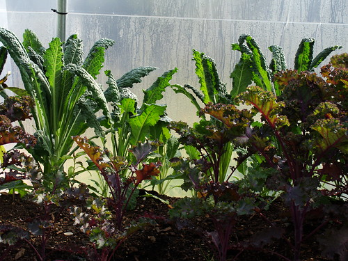 A Forest of Kale and Swiss Chard