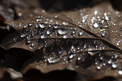 quicksilver (jenny downing) Tags: autumn france fall droplets leaf drops oak quicksilver underside raindrops oakleaf veins silvery waterdrops waterdroplets autumnal awalkinthewoods infrance jennypics takeninfrance jennydowning photobyjennydowning