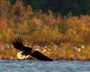 Ascending ([Anthony T.]) Tags: birds flying fishing wildlife hunting flight wing baldeagle raptor flickrversary birdofprey ascending 2years conowingodam wherehasthetimegone herestoanother2years