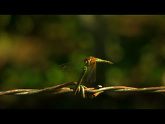 dragonfly (e.nhan) Tags: closeup landscape bokeh enhan mywinners