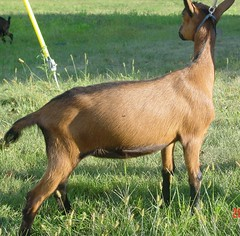 DAIRYLICIOUS FIRE ANGEL - B001531299 (Erin Cooper Young Living) Tags: angel fire goat doe american dairy genetics oberhasli dairylicious adga goat:sex=doe goat:registry=american goat:breed=oberhasli goats100901 b001531299 goat:regnumber=b001531299 goat:regname=dairyliciousfireangel