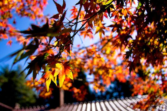2010 - 福壽山的楓葉