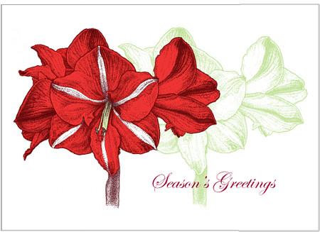 Christmas Amaryllis, Hippeastrum hybrida, 5 x 7 greeting  card