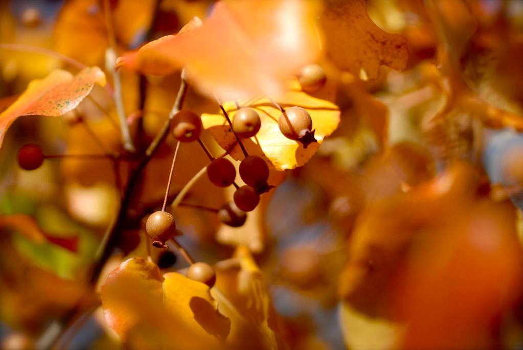 yellow leaves and seed pods