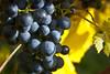 Grapes (A Great Capture) Tags: autumn ontario canada fall fruit wine niagara grapes niagaraonthelake on ald onthevine ash2276 ashleyduffus ©ald ashleysphotographycom ashleysphotoscom ashleylduffus wwwashleysphotoscom