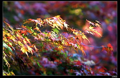 nEO_IMG_IMG_7844 (c0466art) Tags: trip blue autumn trees light red sky mountain plant color green apple beautiful sunshine weather yellow fruit turn canon landscape scenery bright good farm taiwan 5d middle popular 2010 famouse  maplr c0466art