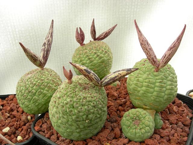 cacti 158