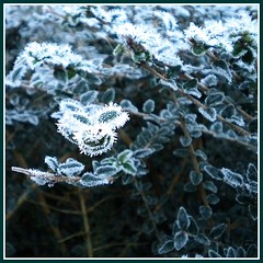 Frrrosty (vera-K) Tags: frost hedge haag lonicera vorst