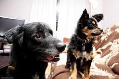 Admiration? (Pawsome33) Tags: dog canada trooper foster buster chion papihuahua chiapap