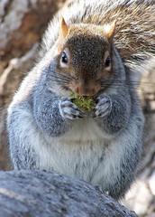 Washington DC,  Lafayette Park 27  Nov 2010 022 (smata2) Tags: washingtondc dc squirrel kodak critters lafayettepark dx6490 nationscapital treerats kodakdx6490 fencerabbit