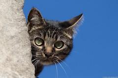 The cat - Le chat (portrait) (jymandu) Tags: