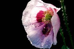 Rainy Day Flower #13 (rich wich) Tags: macro flower rainydayflower pink red green poppy backlight rainy rain raindrops water waterdrops tamron 180mm closeup botanical