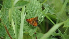 Large Skipper (Nick:Wood) Tags: insect nature wildlife solihull knowle largeskipper butterfly ochlodessylvanus