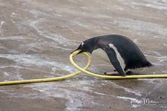 Penguin obsessing over hose pipe (Karen Miller Photography) Tags: edinburghzoo zoo captivity captive edinburgh penguin play animal nikon rzss scotland enclosures karenmillerphotography